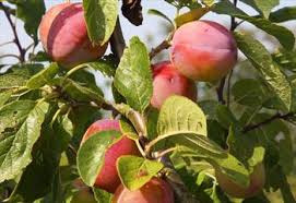plum trees for sale buy friendly advice