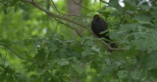 black bird with yellow beak on the tree flies away in the park