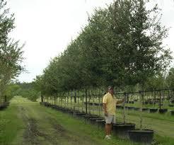 wilkinson tree farm container trees