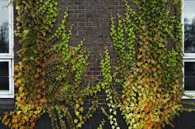 best vines for brick walls u2013 tips on choosing vines for brick walls
