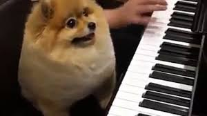 boxer dog fidget spinner shila the dog playing the piano video dailymotion