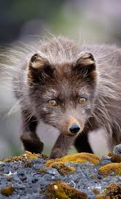 1049 best foxes are amazing creatures images on pinterest red