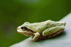 frog myths burke museum