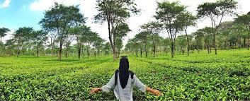 Teh Rolas Wonosari my episodes agro wisata kebun teh wonosari malang