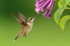 When Is Lavender In Season In Michigan by Plants That Attract Hummingbirds The Old Farmer U0027s Almanac