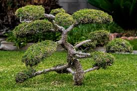 bonsai miniature plant free photo on pixabay