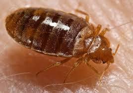 Rug Bugs Bed Bug Vs Flea Vs Carpet Beetle Comparison Library Of Logic