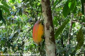 where does chocolate come from cacao