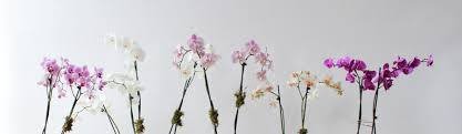 order orchids online buy orchid plants in minneapolis mn