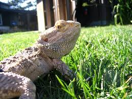 lounge lizards the bearded dragons backyard zoologist