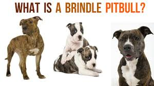 american pit bull terrier brindle introducing the underrated brindle pitbull youtube