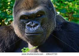 gorilla face stock images royalty free images u0026 vectors