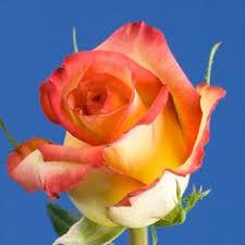 global roses light pink chagne roses global wedding