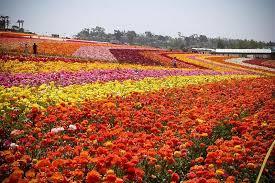 san diego flowers flower fields san diego for decades the carlsbad flower fields