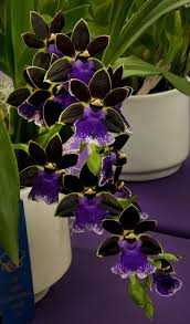 flower orchid zygopetalum new era orchid flowers and gardens