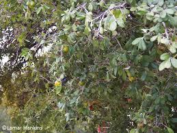 What Fruit Trees Grow In Texas - pruning prep fruit trees rooftop gardens central texas gardener