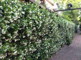 wall of star jasmine plant near windows so the fragrance blows
