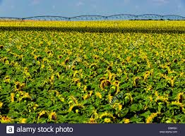 Grinter Farms Sunflower Field Kansas Sunflower Fields Schields U0026amp Sons