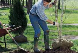 how to replant a tree home guides sf gate