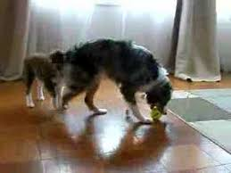 cat with australian shepherd two mini aussies and a cat youtube