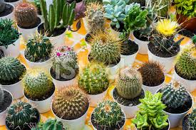 ornamental cactus in pot for sale stock photos freeimages