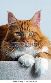 australian shepherd 1 jahr alt maine cat gentle giant stock photos u0026 maine cat gentle giant stock