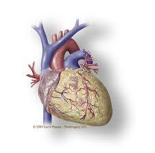 Heart Anatomy Arteries External View Of Heart Coronary Vessels