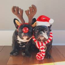 Frenchie Halloween Costume 15 Frenchies Winning Halloween Reindeer U0027jays