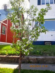 s bayfield almanac elderberry and ornamental pear trees