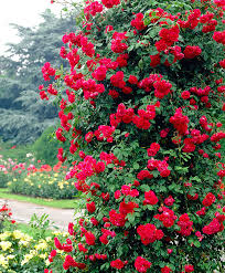 buy climbing rose u0027paul u0027s scarlet climber u0027 bakker com