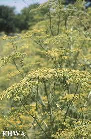 plants native to europe wild parsnip