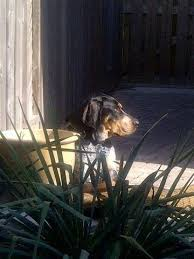 bluetick coonhound louisville ky 29 best adoptable dogs images on pinterest dogs 1 year olds and
