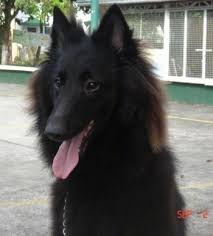 belgian sheepdog vs belgian shepherd belgian shepherd dog breed pictures 3