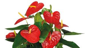 anthurium flower q a how to get anthurium houseplants to bloom again stuff co nz