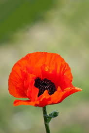 red poppy flower free stock photo public domain pictures
