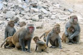 rhesus monkeys pass the mirror test but only after training ars