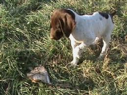 american eskimo dog for sale in kansas puppies in kansas