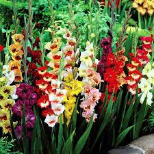 gladiolus flower gladioli large flowering mix 10 flower bulbs buy online order now
