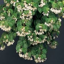 fragrant indoor plants fragrant plants buy tropical fragrant indoor plants at logee s