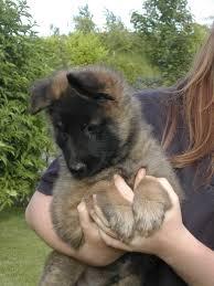 belgian sheepdog height 16 best belgium shepherd images on pinterest animals belgian