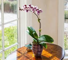purple spotted moth orchid in 5