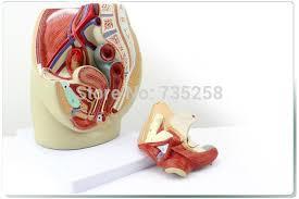 Anatomy Of Female Reproductive System Aliexpress Com Buy Female Pelvic Median Sagittal Section Model