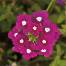 verbena flower verbena verbena seeds 12 verbenas annual flower seeds