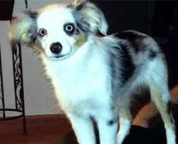 mini australian shepherd 7 months old lost and found u2013 aussie rescue socal