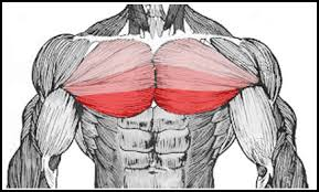 decline bench press muscles chest
