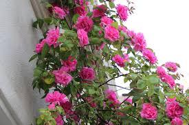 10 best flowering vines for arches pergola arbor and trellis