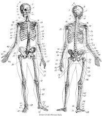 dynamic drawing archive vintage anatomy skeleton images
