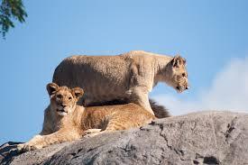 imagenes de leones salvajes gratis león leona leones animales foto gratis en pixabay