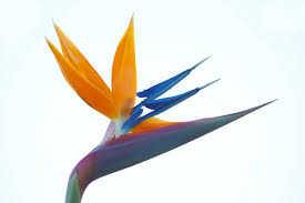 bird of paradise flower best orange and blue bird of paradise flower wallpaper picsmine