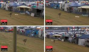 think culling mount panorama u0027s kangaroos is the answer video